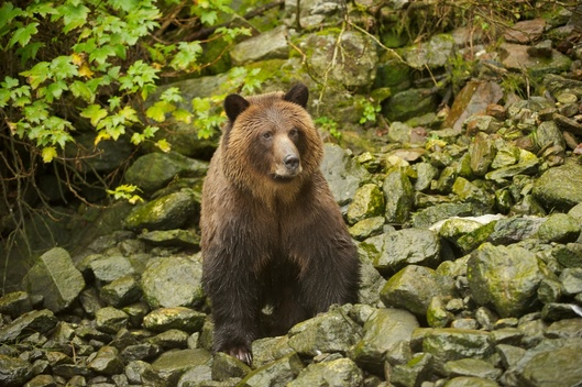 Grizzly Bear in Great Bear Rainforest in Canada