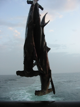 Dead Hammerheads hanging On Board Dutch Pelagic Freezer Trawler in Mauritania