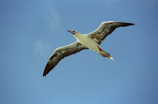Red Footed Booby Flying over the Arctic Sunrise in Indian Ocean