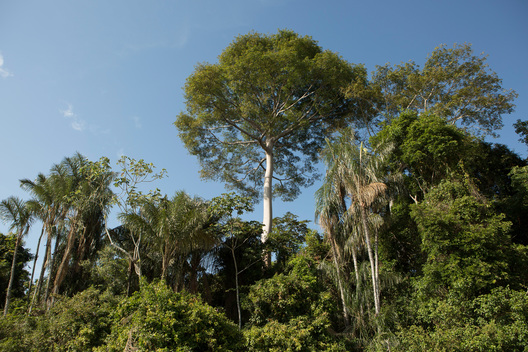 Kapok Tree at Dace Watpu Village in the Amazon
