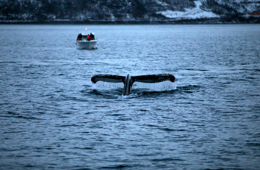 Humpback Whales near Tromso in Norway