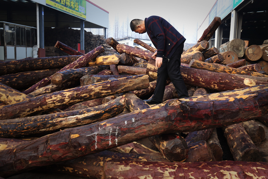 Illegally Logged Hardwood from DRC Traded in China