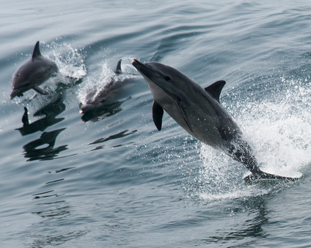 Dolphins off Guinea