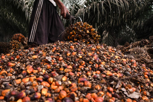 Palm Fruits in PT KU Palm Oil Concession in Jambi, Sumatra