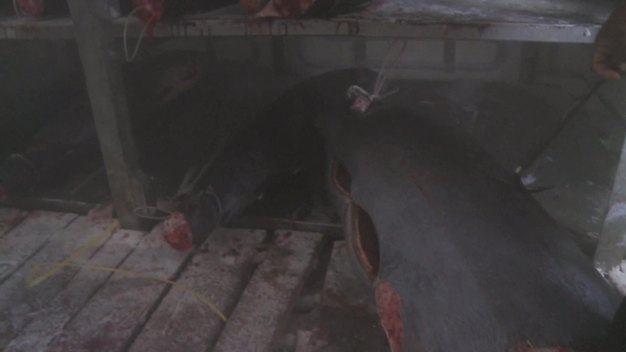 Frozen Tuna and Sharks on Taiwanese Longline Vessel