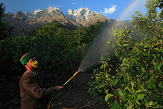 Apple Farmer in India