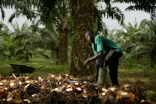 Smallholder Oil Palm Plantation Worker in Cameroon