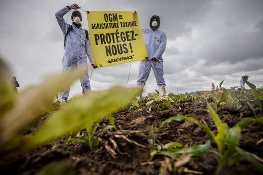 Action Against Illegal GE Maize in France