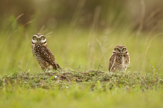 Owls at Pantanal Wetlands in Brazil