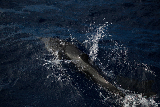 Dolphins off Dominica