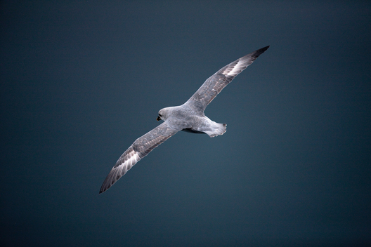 Fulmar in the Arctic Ocean