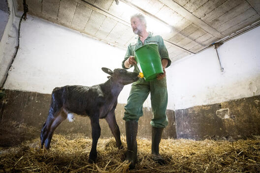 Calf at Farm Affected by Drought in Germany