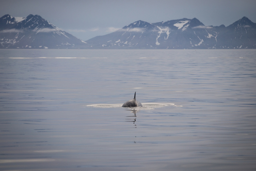 Fin Whale in Svalbard
