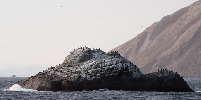 Seabirds in Kamchatka