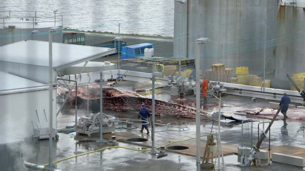 Iceland Lands First Two Fin Whales of 2014