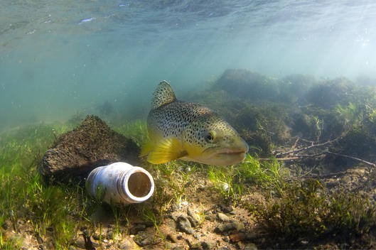 Brown Trout and Litter in UK