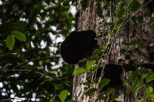 Fungi on Trees inside Ngkulunk Customary Forest in West Kalimantan