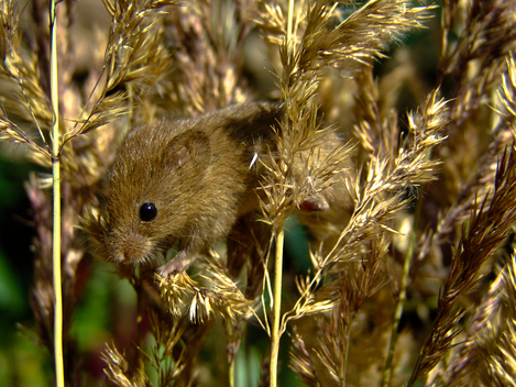 Harvest Mouse in Spessart Mountains
