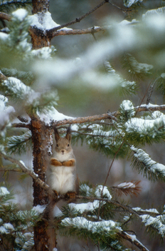 Squirrel in Finland