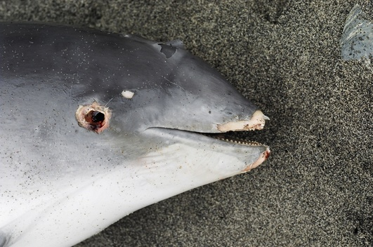 Dead by-catch Dolphins in UK