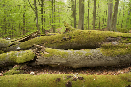Beech Tree Forest in Germany
