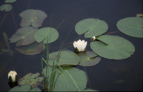 Water Lilly in Russia