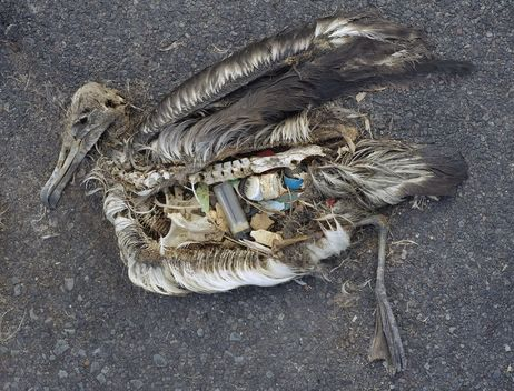 Stomach Contents of Dead Albatross - needs credit