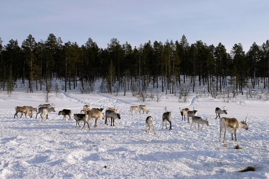 Herd of Reindeer in Ancient Forest, Northern Lapland