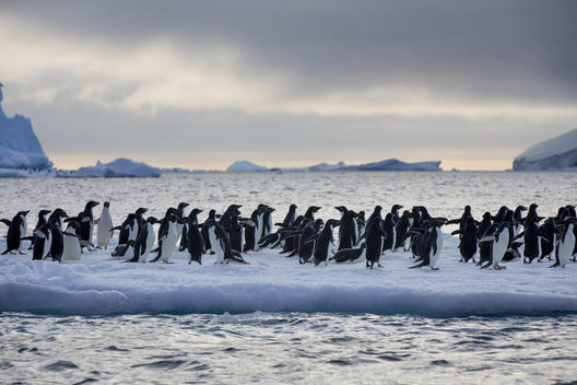 Adelie Penguins Near Paulet Island