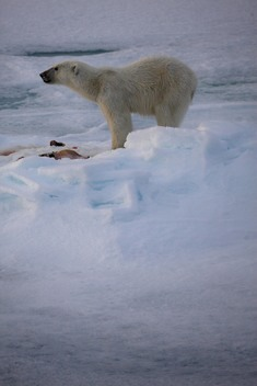 Polar Bear on Labrador Sea Ice