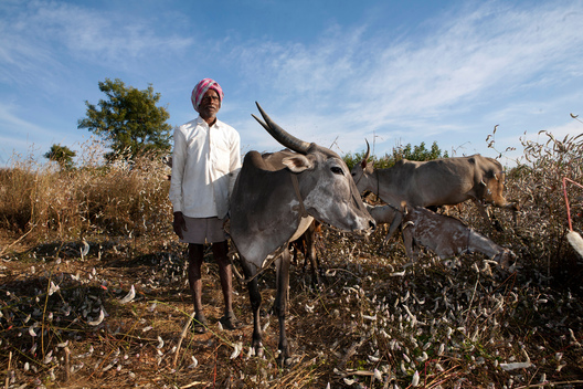 Farmer and Oxen in India