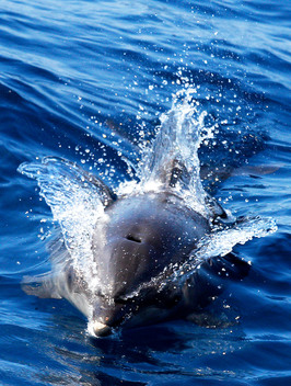 Dolphin in the Gulf of Mexico