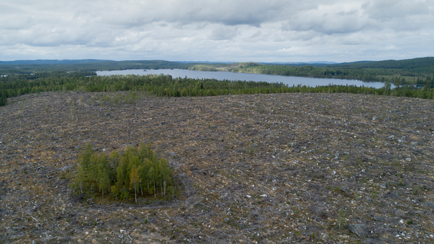 Lodgepole Pine Plantations and Clear Cut in Sweden