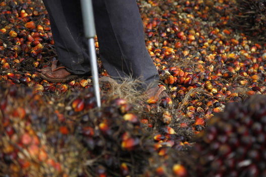 Oil Palm Harvest in Indonesia