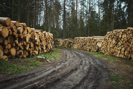 Logging in Bialowieza Forest in Poland