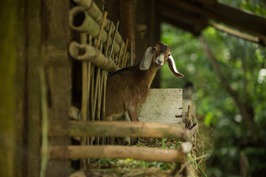 Goat in Ecological Farm at IIRR in Cavite Province, Philippines