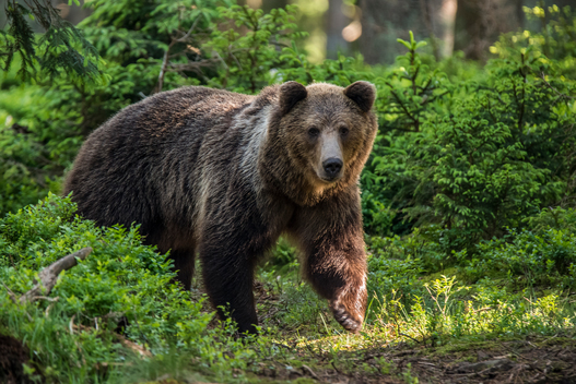 Eurasian Brown Bear in the Carpathians