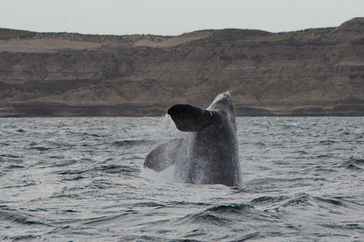 Southern Right Whale in the Argentine Sea
