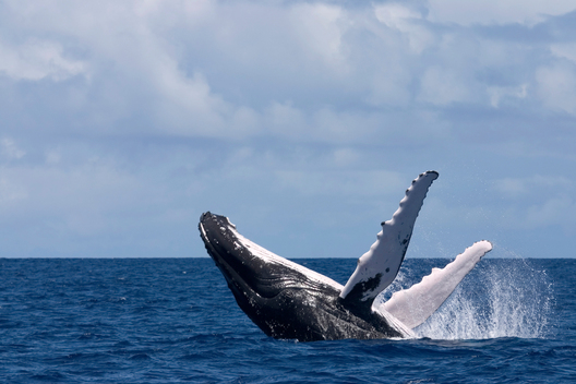 Humpback Whale Documentation (Kingdom of Tonga: 2003-2006)