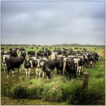 Cows in a Field in Friesland, in the Netherlands