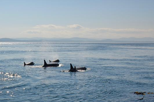 Pacific Northwest Salish Sea Wildlife