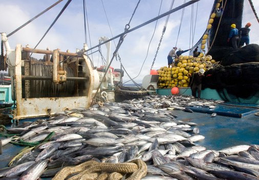 Tuna on Purse Seiner in East Pacific Ocean