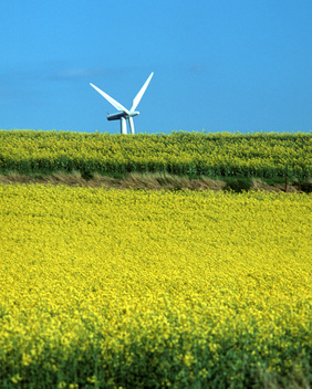 Wind Farm and Rape Field in Denmark
