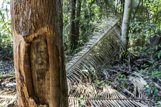 Illegal Logging in Karipuna Indigenous Land, Brazil