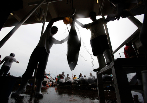 Yellowfin Tuna in Philippines
