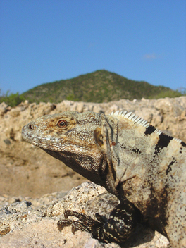 Iguana - Marine Reserves Documentation, Mexico.