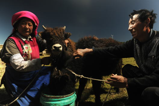 Local Herdsmen with a Yak in Yunnan province of China