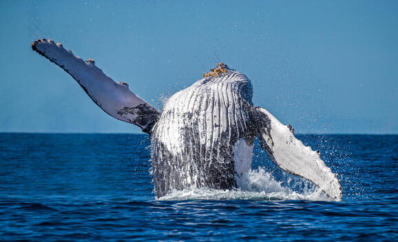 Humpback Whale, Great Barrier Reef