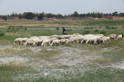 Herd of Sheep in China