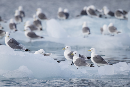 Seabirds in Svalbard